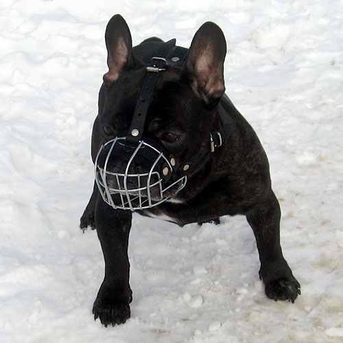 French Bulldog in Muzzle